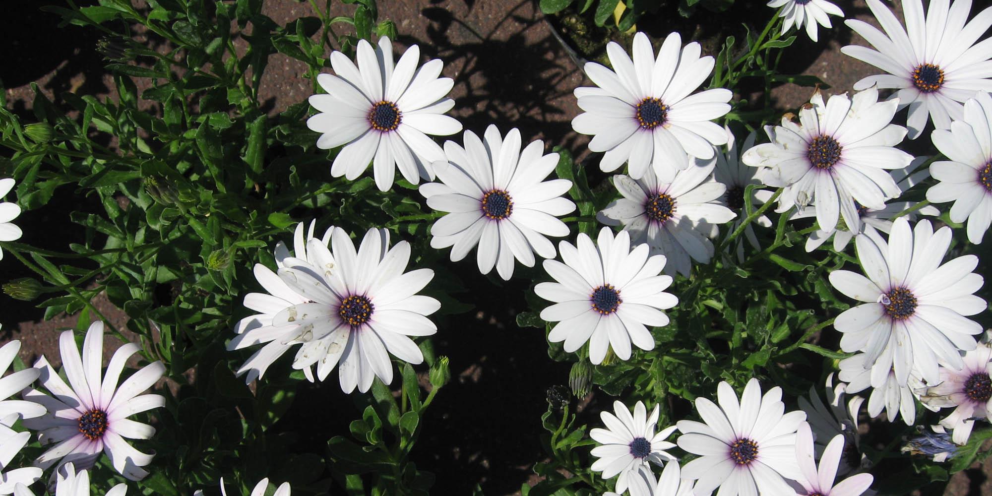 midi-oliven-flower-white.jpg