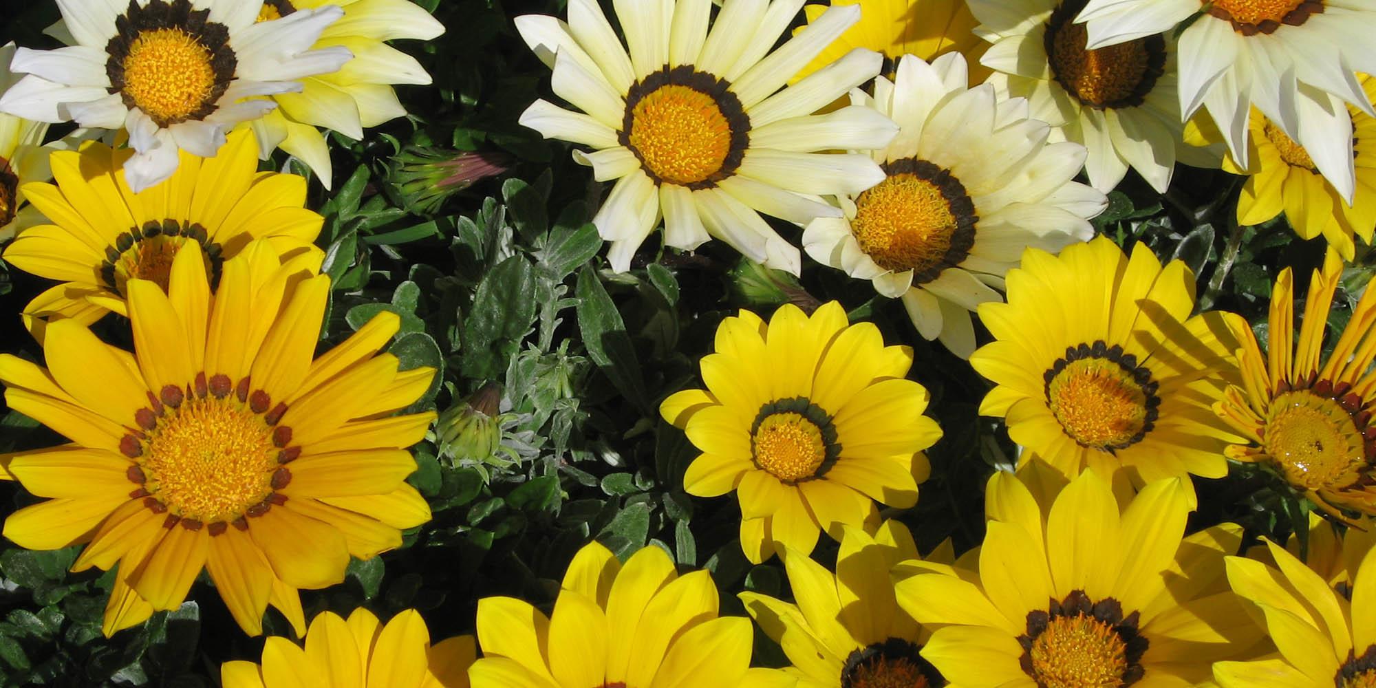 midi-oliven-flower-yell Kopie.jpg