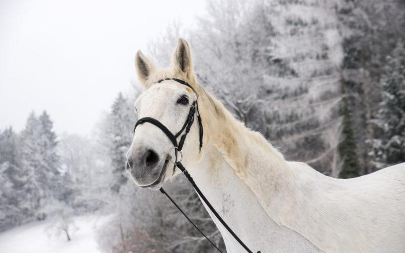 Weisses Pferd im Schnee